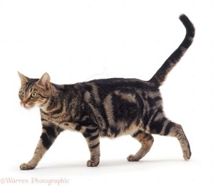 Pregnant classic or blotched tabby female cat Pumpkin walking